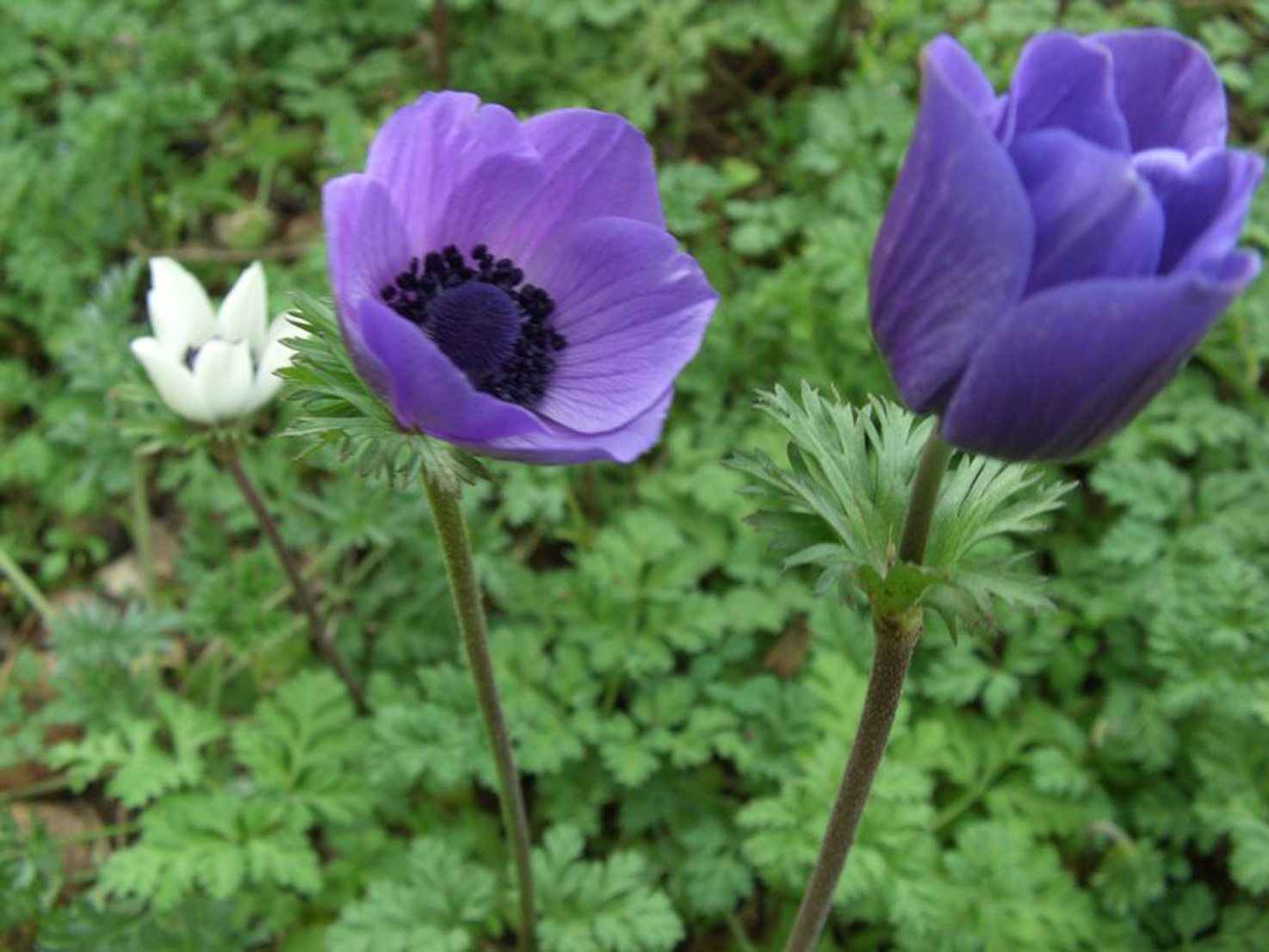 Colour pollination ecology of our red anemone Sylphide is anemone...